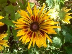Rudbeckia (Bury Gardener) Tags: rudbeckia flower garden