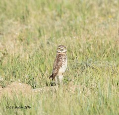 July 24, 2016 - A watchful Burrowing Owl in Adams County. (Ed Dalton)
