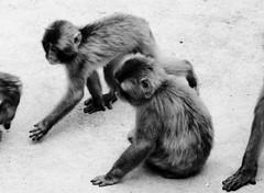 Macaca fuscata --  Japanese Macaques 1272 (Tangled Bank) Tags: asahiyama zoo zoological gardens hokkaido japan primate macaca fuscata japanese macaques 1272 monkey snow