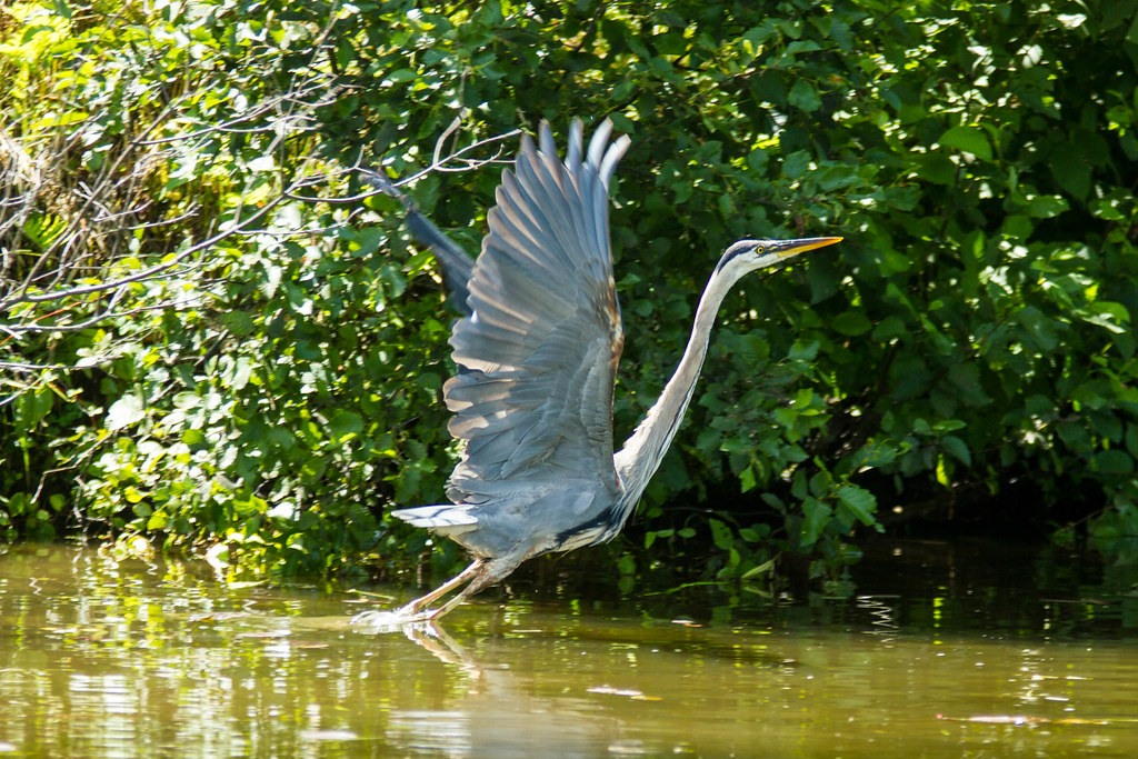 Grand Héron - Great Heron