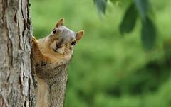 Squirrel, Morton Arboretum. 354 (EOS) (Mega-Magpie) Tags: usa tree cute green nature america canon eos illinois squirrel wildlife dupage arboretum il morton lisle the 60d