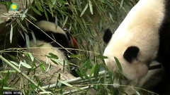 2016_07-08zb (gkoo19681) Tags: nationalzoo stealing meixiang beibei treatball ccncby