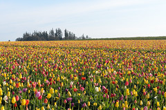 (wenzday01) Tags: travel oregon or willamettevalley woodburn woodenshoe woodenshoetulipfarm tulipfarm tulipfestival tulips flowers nature field nikon d7000 nikond7000 sigma 50mmf14exdghsm
