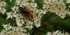 soldier beetles on cow parsley (samm.doyle) Tags: nature woodland soldier cow reserve hampshire beetles parsley swanwick