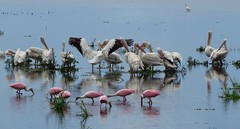Ameria White Pelicans and Roseate Spoonbills (YoungSue) Tags: bird pelican spoonbill americanwhitepelican roseatespoonbill