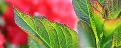 Sawtooth (alideniese) Tags: red plant macro green closeup leaf dof bokeh edge jagged veins hydrangealeaf
