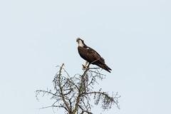 Male Osprey (WC Photography) Tags: bird birds osprey seahawk