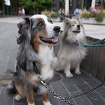 "Dogs on a leash • <a style=""font-size:0.8em;"" href=""http://www.flickr.com/photos/28211982@N07/28311539800/"" target=""_blank"">View on Flickr</a>"