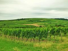 Gau Algesheim (15) (whittakermj4) Tags: vines wine vineyards rheinlandpfalz rheinhessen rhinelandpalatinate gaualgesheim winemakingarea