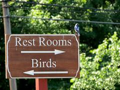 How about a bird using a sign as a rest room? (natureburbs) Tags: newjerseynature july summer nature greatswamp wildlife bird birding birdsinnewjersey bluebird