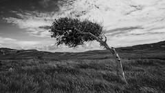 Fur Rainer; for the Mentor (Wayne Interessiert's) Tags: sky bw white black tree monochrome clouds landscape island weide dunes himmel wolken norderney insel ciel prairie nuages paysage landschaft arbre baum dnen le wattenmeer saule noirblancphoto