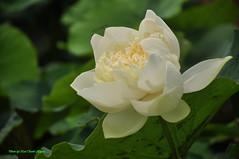 Hoa sen (Ct ng) Tags: hoasen bngsen hoa bng lotus sen mah summer flower