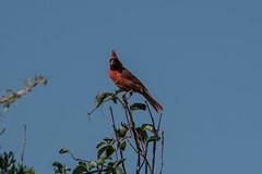 cardinal with leaf (adirondack_native) Tags: cardinal leaf red male