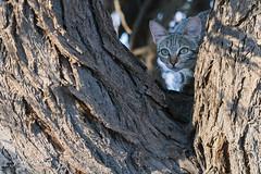 Chat sauvage - Wild Cat ! (jm.buchet (VisionNatureJMB)) Tags: park wild animals cat southafrica chat desert wildlife du animaux ktp sud afrique dsert sauvage transfrontier kgalagadi