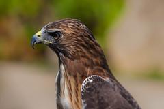 Harris Hawk (jimmy_racoon) Tags: 70200 f4l is canon 5d mk2 birds prey harris hawk wildlife nature raptor 70200f4lis canon5dmk2 birdsofprey harrishawk