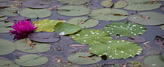 Nymphaeaceae in the Rain (s.d.sea) Tags: chicago botanic garden enjoyillinois illinois glencoe northshore midwest pentax nature outdoors rain water lily lilypad pad flower aquatic