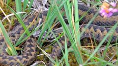 Adder (Vipera berus) Sloughing (Nick Dobbs) Tags: snake adder vipera viper reptile sloughing venomous venom dorset heath heathland berus