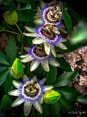 Belles fleurs ( Christian .......) Tags: fleurs vert violet bleu jaune montsaintvincent saneetloire france christiandefachelle olympuspenf