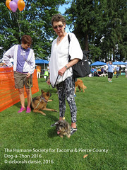 DAT2016_Crowd_WireHairDachsy_1076 (greytoes_99) Tags: agility dat2015 dat2016 event humanesocietytacoma people summer tacoma tacomahs volunteers dog humananimalbond cat lakewood wa us