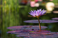Water Lily (mclcbooks) Tags: flower flowers floral waterlily waterlilies lilypads water pond reflections denverbotanicgardens colorado summer
