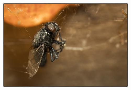Spiders dinner