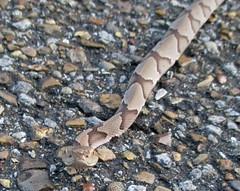 juvenile copperhead (slider5) Tags: copperhead agkistrodoncontortrix snake ms