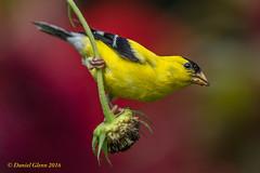 Dinner's at hand (danielusescanon) Tags: wild americangoldfinch male spinustristis brooksidegardens maryland birdperfect feeding animalplanet wow
