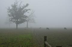 Cow Pen (ramseybuckeye) Tags: foggy morning fog allen county ohio pentax life art tres cattle cows fence