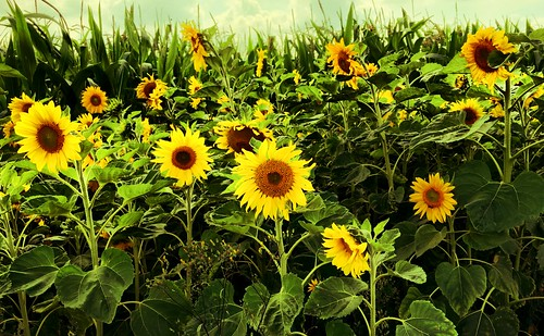Sunflowers and Corn