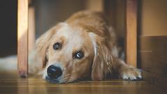 Thursday Morning (Tom Landretti) Tags: golden dog goldenretreiver thursdaymorning charlie littledoglaughedstories