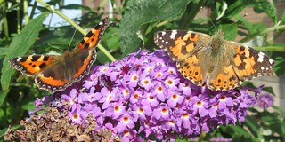 Small Tortoiseshell and Painted Lady