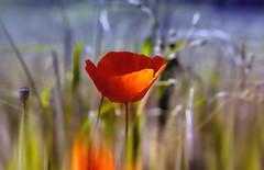 _Walking through the fields_ (* landscape photographer *) Tags: primavera natura fiori colori campi lucania passeggiare italyeurope nikond90 salvyitaly vallesole