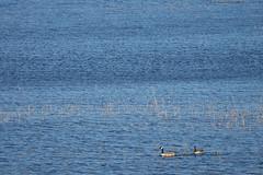 Canada goose - Branta canadensis (miika.k) Tags: finland goose hanhi canadagoose canuck kanadanhanhi