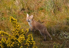 A Little Drop Of Sunshine (Michelle O'Connell Photography) Tags: nature animal scotland glasgow wildlife young scottish fox pup redfox foxcub vulpes foxkit youngfox michelleoconnellphotography
