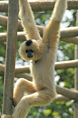buff-cheeked gibbon (Marked_man) Tags: wild nature sunshine animal fur outdoors zoo furry natural bright cincinnati critter wildlife tan sunny exhibit buff hanging strong strength primate simian