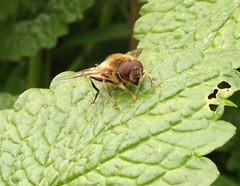 Hoverfly - Epistrophe Grossulariae