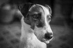 Edo (Dr John2005) Tags: portrait blackandwhite dog edo hometruths