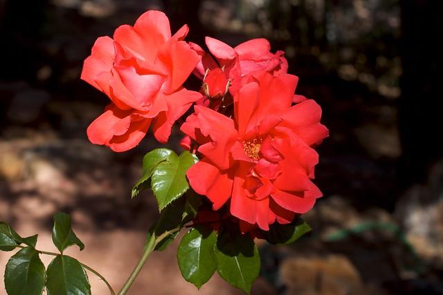 Full On Roses