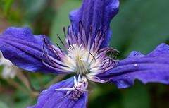 A violet flower (Z!SL) Tags: flowers blue plant flower macro nature closeup zeiss flora dof bokeh outdoor sony violet depthoffield bleu blau sonnar carlzeiss nex mirrorless bokehwhores sonyphotographing emount minoltaemount sel24f18z sel24f18za sel24f18 sonnarte1824 nex5r sonnar2418za