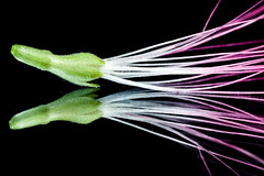 Albizia julibrissin (thomsonka) Tags: flower macro canon m42 virág 500d albizia julibrissin selyem russianlens akác heliosm444