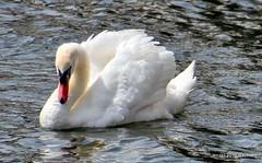 DSC_0504 (rachidH) Tags: birds oiseaux swan cygne muteswan cygnusolor cygnetubercul thames river kingston london england uk rachidh nature swanlings cygnets