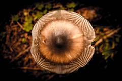 IMG_1579 (Lorenzo Pauselli) Tags: altoadige sdtirol vacanze castelrotto 2016 estate dolomiti montagna streghe valli rocce funghi fungo portraits ritratto primopiano scattirubati