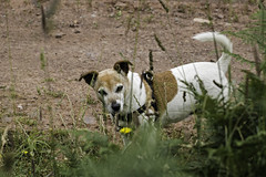 Safe From Snakes - 52 Weeks For Dogs- 29/52 (me'nthedogs) Tags: jrt somerset terrier snaps jackrussell quantocks 2952 52weeksfordogs