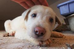 P1110306 (Pillar1984) Tags: dog puppy cute little cutie