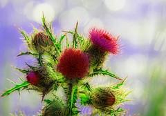 Bristly bouquet (Sunshynest8) Tags: bristly sticky flower wildliflower thistle bouquet bokeh florida sunshynestate sunshyest8