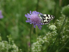 IMG_8139 (germancute) Tags: summer plant flower nature butterfly outdoor sommer pflanze meadow wiese blume wildflower schmetterling