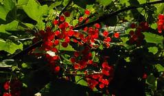 Rote Johannisbeeren (Ribes rubrum); Bergenhusen, Stapelholm (1) (Chironius) Tags: stapelholm bergenhusen schleswigholstein deutschland germany allemagne alemania germania    ogie pomie szlezwigholsztyn niemcy pomienie frucht fruit frutta owoc fruta  frukt meyve    buah rot saxifragales steinbrechartige grossulariaceae stachelbeergewchse ribes
