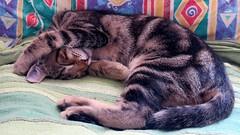 Agata's sweet rest - Dolce riposo di Agata (Dado 51) Tags: riposo gatto sonno