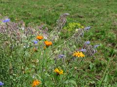ckuchem-3082 (christine_kuchem) Tags: ackerrand bienenfreund bienenweide blumen blhstreifen feld felder klee landwirtschaft schmetterlingsbltler vogelschutz wiesenblume