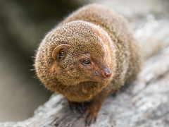 Common Dwarf Mongoose (dalejckelly) Tags: nature animal animals canon photography scotland dwarf stirling wildlife safari blairdrummond mongoose